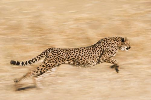 Cheetah running on the hunt