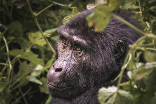 African-mountain-gorilla-sitting-near-the-trees