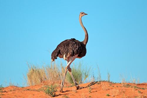 Ostrich-in-the-wild-plain-area