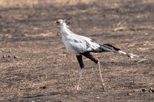 secretary bird in the ground watching its prey