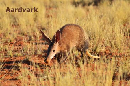 Aardvark-rare-mammal